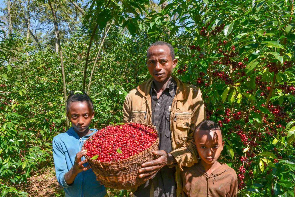 Ethiopia GUJI ACACIA